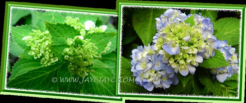 Hydrangea macrophylla: numerous florets blossoming beautifully