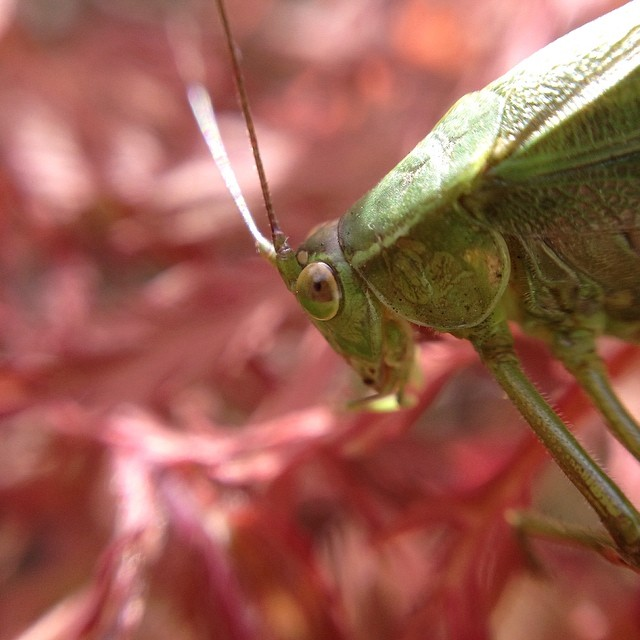Grasshopper eating Japanese Maple flowers.  #sunland #macro @olloclip #grasshopper #happiness #grateful365