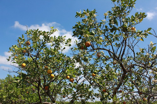 U-Pick Citrus, Corkscrew Road, Collier County, South Florida