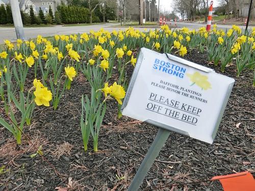 Marathon daffodils