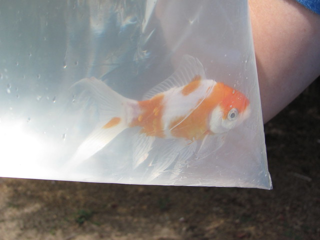 New pond goldfish