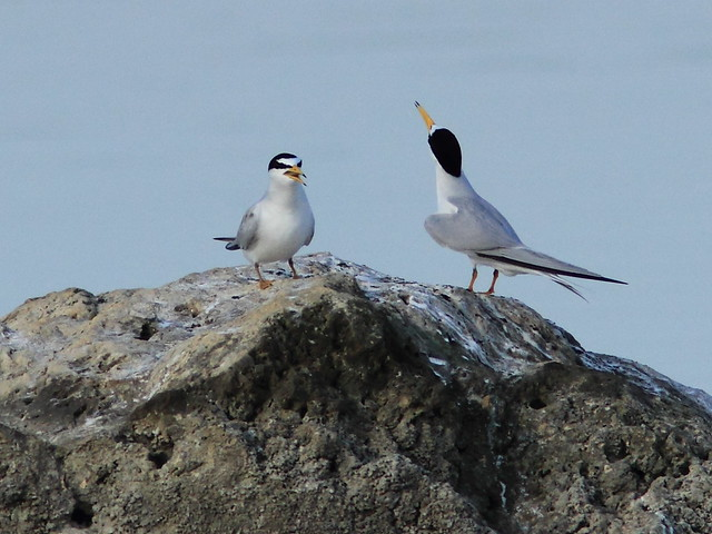 Least Tern courtship 5-20120419
