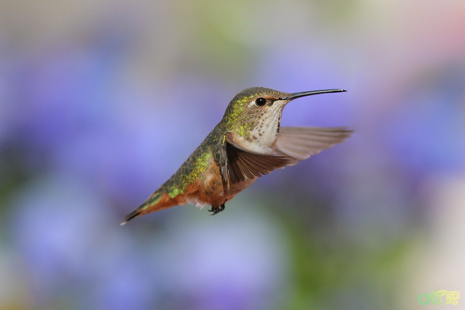 Allen's Hummingbird 042312-2