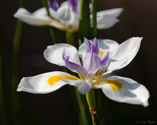 African Iris by SARhounds