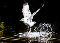[Free Images] Animals 2, Gulls / Seagulls ID:201205160400