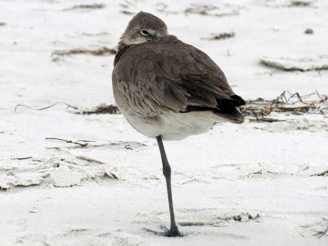 Sleepy Willet