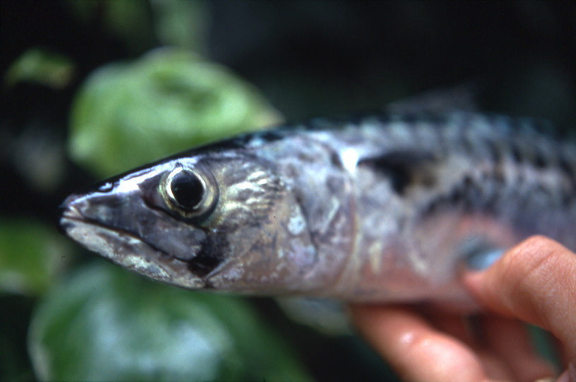 Unhappy mackerel