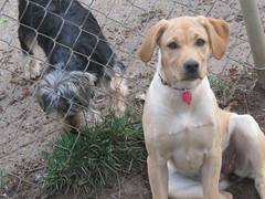 puppy(0.0), street dog(0.0), american pit bull terrier(0.0), dog breed(1.0), labrador retriever(1.0), animal(1.0), broholmer(1.0), dog(1.0), pet(1.0), guard dog(1.0), carnivoran(1.0), terrier(1.0),