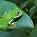 Kisenyi Forest Tree Frog - Photo (c) Bernard DUPONT, some rights reserved (CC BY-NC-SA)