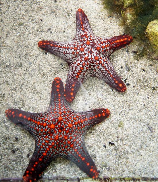 Panama: Starfish