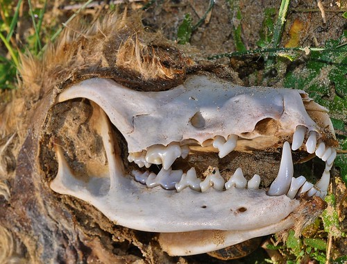 Fox Skull Sandwich Bay by Kinzler Pegwell