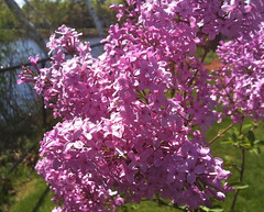 First Lilacs (Cummings Center Pond) by randubnick