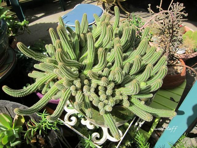 Aporocactus flagelliformis 'snake cactus'