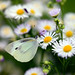 Cabbage Butterfly Among Flowers