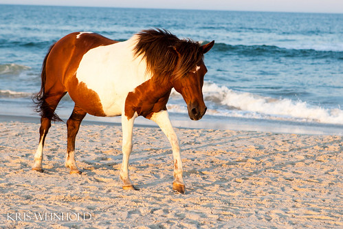 Pony at Assateague Island