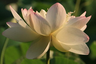 Sunlight Lotus Bloom