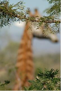 Giraffe mirage