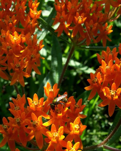 butterfly milkweed with halictid bee