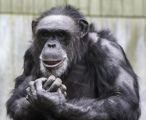 Chimpanse 1 (Custom)