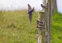 Swallows & Martens