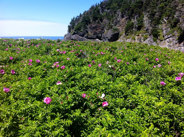 Wild Roses on the Green Gardens Trail