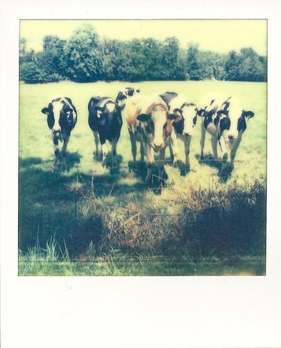 #11 curious cows