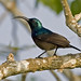 Loten's Sunbird (Colin Brown)