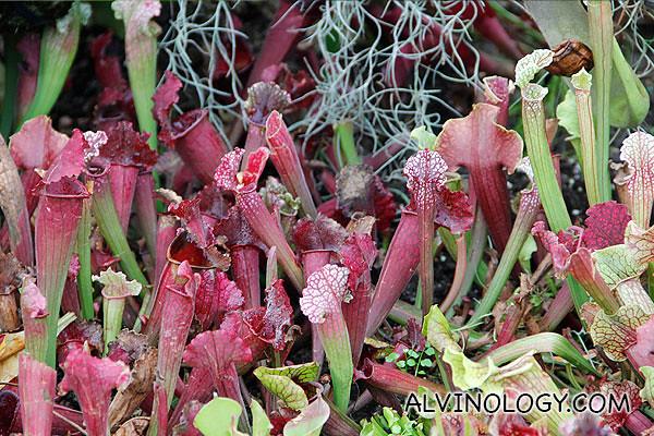 Purplish plant