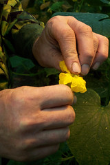A cucumber pollen.