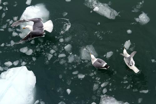 Glacier Bay - Sweet Tailfeathers