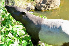 animal, green, fauna, tapir, wildlife,
