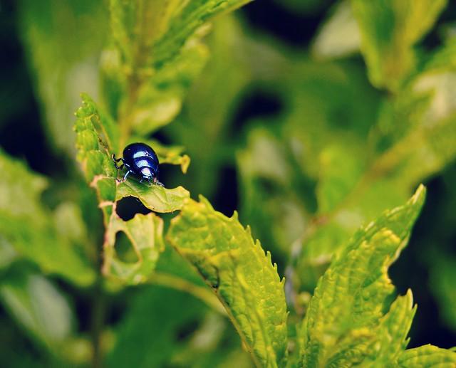 escarabajito