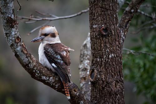 birds tasmania gorge kookaburra launceston cataractgorge laughingkookaburra
