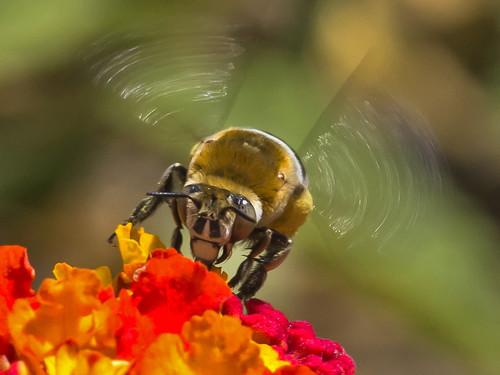 [フリー画像素材] 動物 2, 昆虫, 蜂・ハチ, アオスジコシブトハナバチ ID:201208170400