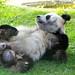 2012 08 19 Zoo Berlin - Bao Bao 019 by giantpandazoo.com