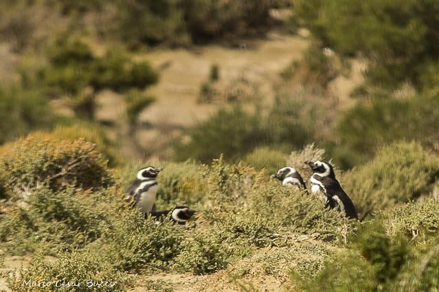 pinguins-05562