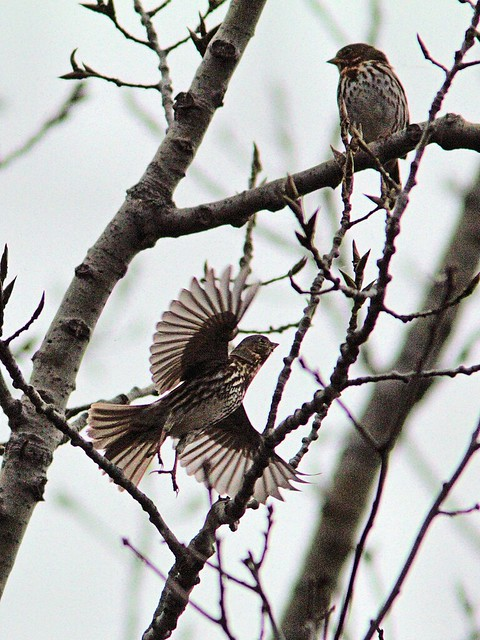 Fox Sparrows 20121103