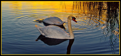 sunset lakes swans chichester