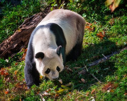 [フリー画像素材] 動物 1, 哺乳類, ジャイアントパンダ ID:201211111000