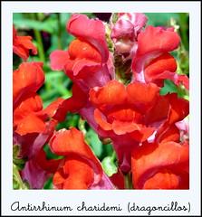 Antirrhinum charidemi (dragoncillos)