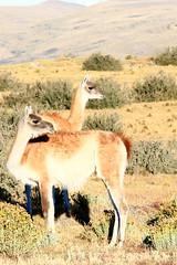 llama(0.0), arabian camel(0.0), animal(1.0), prairie(1.0), mammal(1.0), grazing(1.0), fauna(1.0), vicuã±a(1.0), natural environment(1.0), guanaco(1.0), landscape(1.0), pasture(1.0), grassland(1.0), wildlife(1.0),