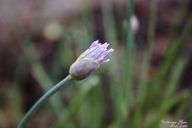 chiveflower