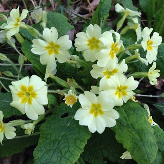 Primroses at Railway Fields