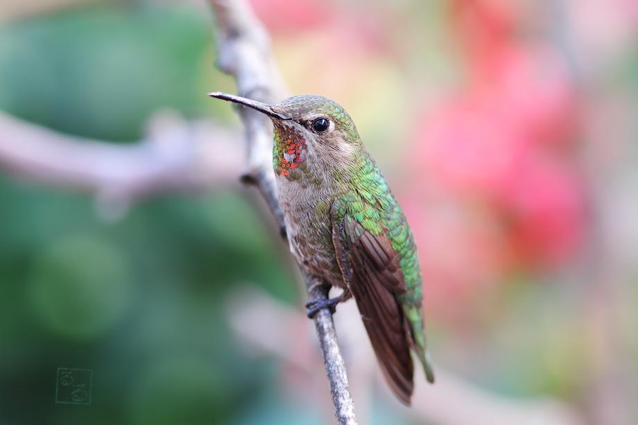Anna's-Hummingbird-040114