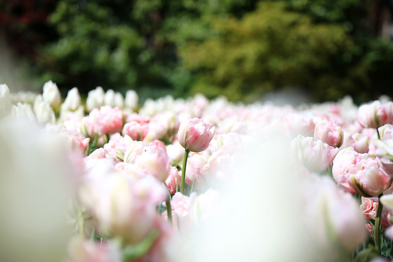 tulipes rose blanche