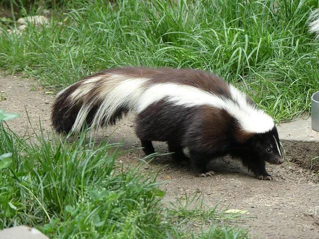 Stinktier, Zoo Heidelberg