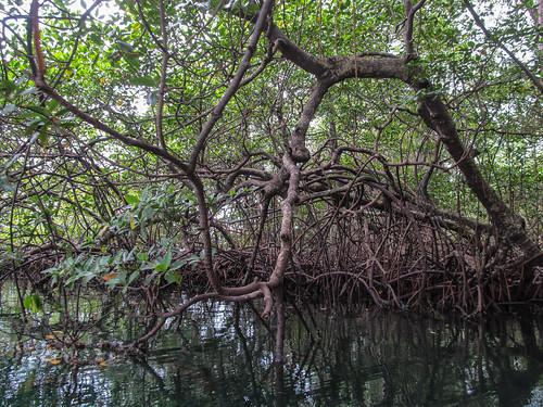 Bocas del Toro: les mangroves de l'île aux Paresseux