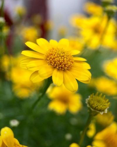 ダールベルグデージー Thymophylla tenuiloba. #flower #7x #macro #olloclip
