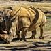 Rhinoceros by Arimm