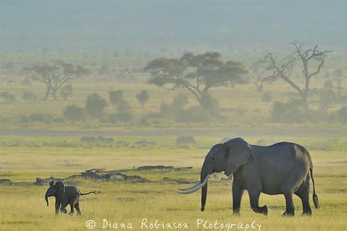 kenya elephants babyelephant eastafrica amboselinationalpark dianarobinson nikond3s